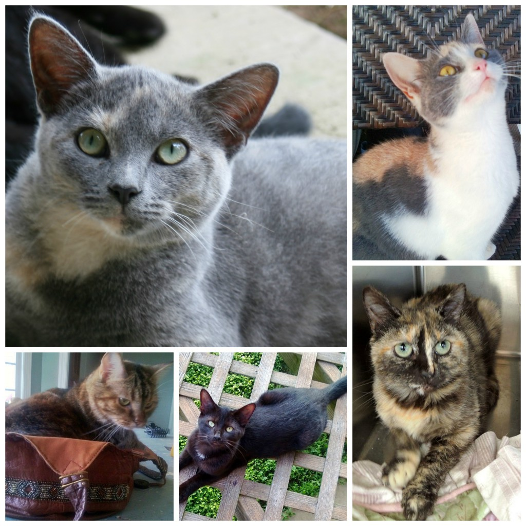 Friends of Oak Ridge Animal Shelter Cat Team foster Dottie, Peaches, Emmie, Georgie, and Katniss